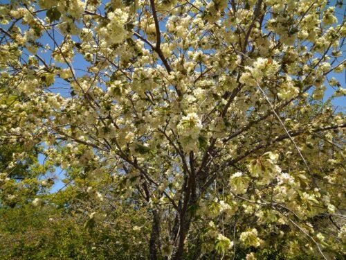 平野神社の桜2